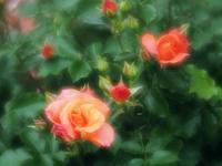 曇りの日の薔薇たち2 - 光の 音色を聞きながら Ⅵ