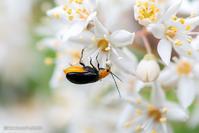 丸葉空木【マルバウツギと昆虫たち】 - kawanori-photo