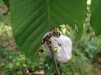 スミナガシ幼虫 - 秩父の蝶