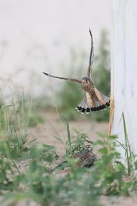 チョウゲンボウ幼鳥を見守るオス親 - 気まぐれ野鳥写真