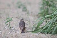チョウゲンボウ地上に降りた末っ子 - 気まぐれ野鳥写真