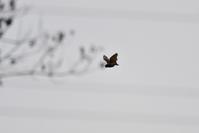 真昼の蝙蝠(キクガシラコウモリ) - TOM'S Photo