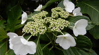 花付きのよさ - 三宅島風景2