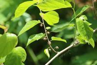 20210528 【植物】コウゾ - 杉本敏宏のつれづれなるままに