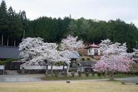 2021桜巡り紅枝垂れ桜@京北東光寺 - デジタルな鍛冶屋の写真歩記