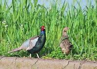 キジ - くまさんの二人で鳥撮り