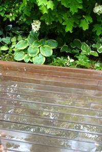 雨降りのホワイトコーナーと垂れ下がったスモークツリー♪(6月4日) - Reon with LR & Roses