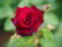曇りの日の薔薇たち3 - 光の 音色を聞きながら Ⅵ