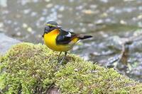 キビタキ色々 - 上州自然散策3