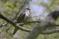高原でホトトギス - 『彩の国ピンボケ野鳥写真館』