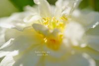 薔薇*2021・STORY13スノーグース*・PART2(+トリミング行って来ました~~♪) - FUNKY'S BLUE SKY
