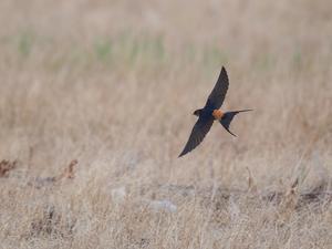 翻弄・・・コシアカツバメ。(飛翔編①) - 鳥見んGOO!(とりみんぐー!)野鳥との出逢い
