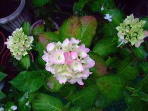 紫陽花の花は・・・ -