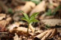 20210601 【植物】ツクバネソウ - 杉本敏宏のつれづれなるままに