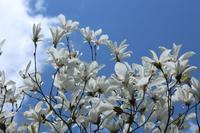 20210601 【植物】タムシバは満開 - 杉本敏宏のつれづれなるままに