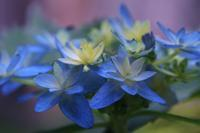 紫陽花 (ガクアジサイ) - てんちゃん気ままなデジカメ