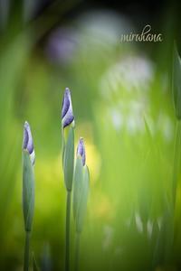 ラインを意識した花菖蒲。 - MIRU'S PHOTO
