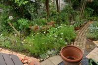 スモークツリーの鉢上げ - rurugardenと音符たち