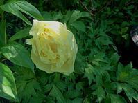 792、黄牡丹咲く - 五十嵐靖之 趣味の写真と短歌