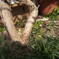 オリーブの木に穴が! - Petit mame