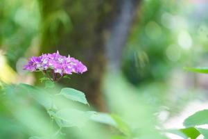 山紫陽花の祭典 -