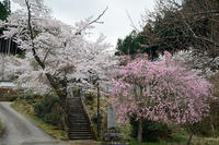 2021桜巡り枝垂れ桜@京北福徳寺 - デジタルな鍛冶屋の写真歩記