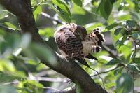 チョウゲンボウ末っ子の木止まり - 気まぐれ野鳥写真