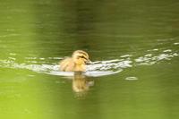 # カルガモのこども2羽だけ - TORI たどり (小鳥、わんこ、写真 ♥)