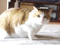 猫のお留守番 あずきくん編。 - ゆきねこ猫家族