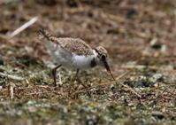 コチドリの雛ちゃんー孵化15日目② - 写真で綴る野鳥ごよみ