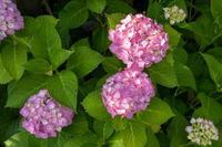 「軒先のあじさい達」 - ほぼ京都人の密やかな眺め Excite Blog版
