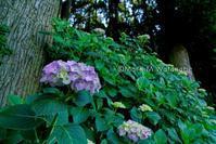 紫陽花の森 - Mark.M.Watanabeの熊本撮影紀行