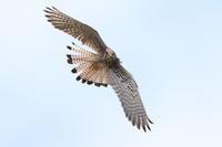 チョウゲンボウトカゲのニホンカナヘビ - 気まぐれ野鳥写真