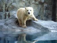 ホッキョクグマの赤ちゃんフブキ - 動物園放浪記