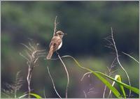 居場所が分かるオオヨシキリ - 野鳥の素顔 <野鳥と日々の出来事>
