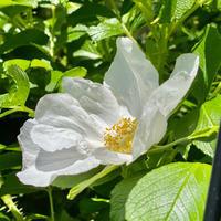 白いハマナス - Bleu Belle Fleur☆ブルーベルフルール