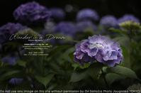 紫の迷路。SIGMA 35mm F1.4 DG DN   Art  作例#SIGMA #紫陽花#写真 - さいとうおりのお気に入りはカメラで。