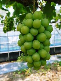 熊本ぶどう社方園令和3年度も至高のぶどうを育てあげます!長期にわたり出荷できるよう栽培中(後編) - FLCパートナーズストア