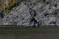 水辺で......ハヤブサ - 新  鳥さんと遊ぼうⅡ