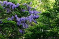野生の藤の花 - ハーブガーデン便り