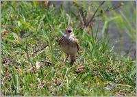 畦道で囀るヒバリ - 野鳥の素顔 <野鳥と日々の出来事>