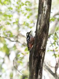オオアカゲラと一瞬の出会い - コーヒー党の野鳥と自然パート3