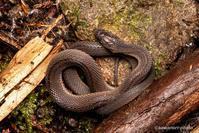 高千穂蛇【タカチホヘビ】 - kawanori-photo