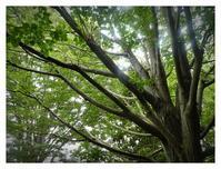 6月菩提樹 - あおいそら