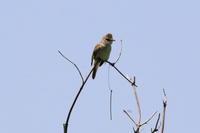 オオヨシキリ/カイツブリその後 - 今日の鳥さんⅡ
