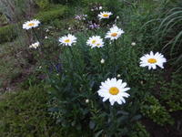 シャスターデージー - だんご虫の花