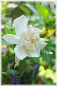 クチナシの花 - おだやかに たのしく Que Sera Sera