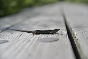 ニホンカナヘビ現る ~今週のウトナイ湖 - やぁやぁ。