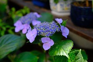 満身創痍の紫陽花色づく。 -