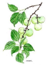 梅の実収穫しました。 - がちゃぴん秀子の日記